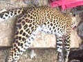 Video : Mob beats leopard to death