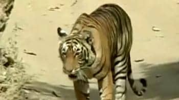 Video : Ranthambore tigers face China threat