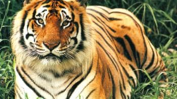 Video : How safe is the tiger in Kaziranga?