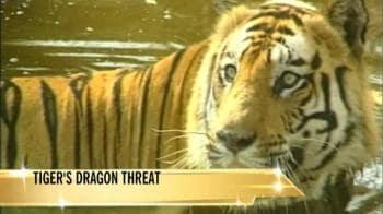 Video : Tiger trade vs shahtoosh trade?