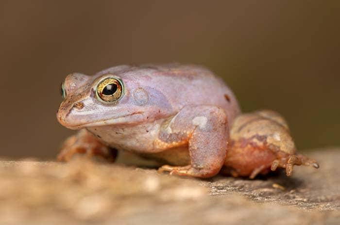 Indian Purple Frog