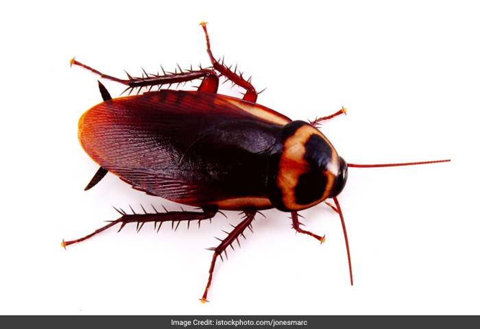 Cockroach: Studies in the past have shown that children those who have cockroach droppings or cockroach particles in their homes are more likely to have childhood asthma than others.