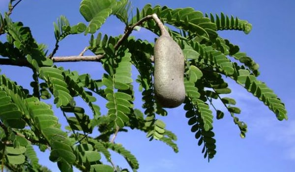 Tamarind leaves are excellent source for raising haemoglobin. Iron blockers like tea, coffee, milk etc. should be avoided and iron supplements and vitamin C should be taken for better absorption of foods rich in iron.
