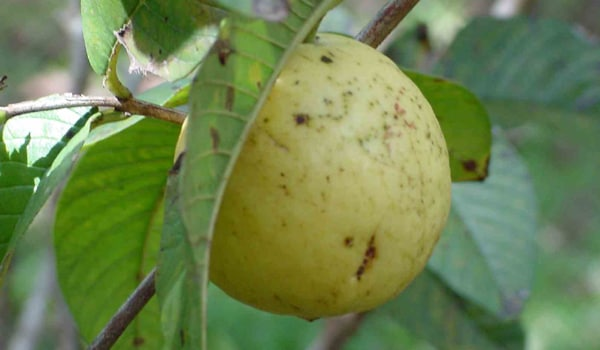 Guavas help treat iron-deficiency anaemia and are also believed to prevent leukaemia.