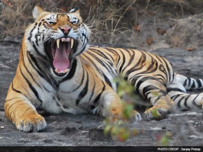Save Our Tigers Join the Roar Contest: Meet the Winners