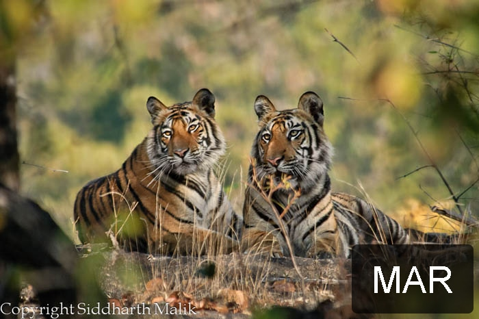 NDTV Save Our Tigers: Winning pictures