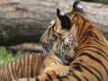 Photo : 10 Unusual Facts About Tigers