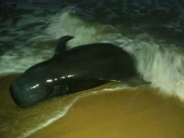 Photo : 5 Pics: 100 Whales Beached In Tamil Nadu's Tuticorin