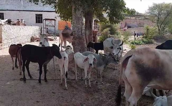 Man Beaten To Death In Rajasthan's Alwar On Suspicion Of Cow Smuggling
