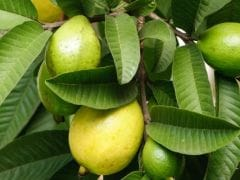15 Guava Benefits: Heart Healthy, Weight Loss Friendly And More