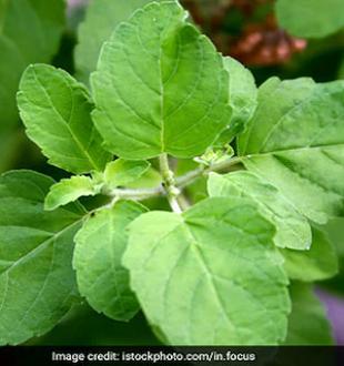 Tulsi Leaves For Diabetes: ब्लड शुगर लेवल को कंट्रोल करने में कैसे काम आती है तुलसी...