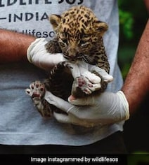 In Maharashtra, Two Kids Woke Up To Find Leopard Cub Napping Next To Them