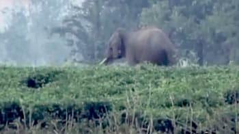 Videos : जंगली हाथी ने मचाया गांव में उत्पात