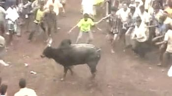 Video : Jallikattu festival in Tamil Nadu in full swing despite Centre's ban on bull fighting