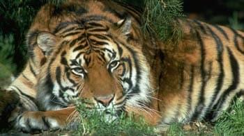 Videos : बाघों पर अब इलेक्ट्रॉनिक नजर
