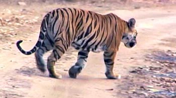 Video : Corbett: Tiger conservation faces issue of protected areas