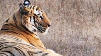 Video : Bandhavgarh: The dominant male roars loud