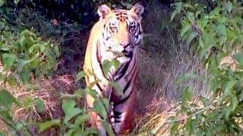 Video : पन्ना में गूंज रही है बाघों की दहाड़