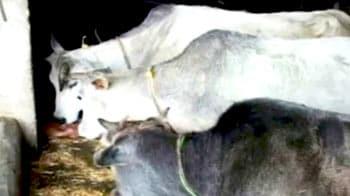 Videos : गाय के गोबर से बन रही है बिजली