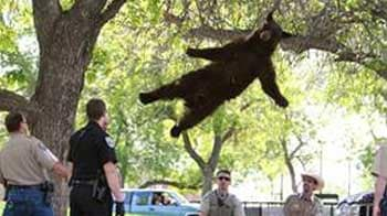 Video : Bear falls 15 feet from tree at US university campus, lands safely