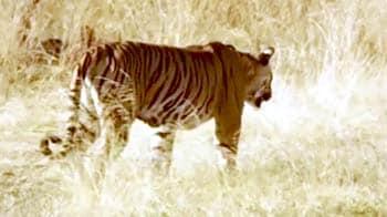 Video : कॉर्बेट टाइगर रिज : बाघों को शोर से बचाया