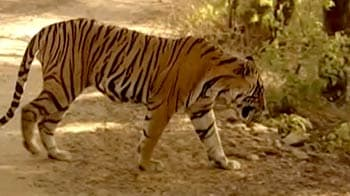 Video : Protecting Ranthambore's tigers