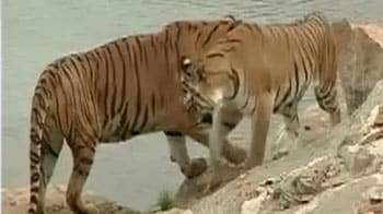 Video : Save Our Tigers campaign: This is how your funds will be used