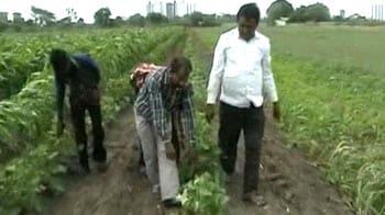 Video : Late rain damages cotton crop in Gujarat
