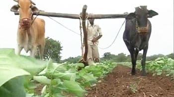 Video : Maharashtra: Monsoon plays spoilsport, sweet lime cultivators lose crops