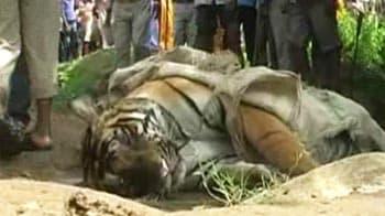 Video : Four tiger deaths in three months in Uttar Pradesh