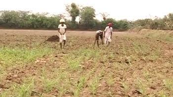 Video : Contract farmers battle poor monsoon