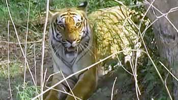 Videos : टाइगर रिजर्व्स में जारी रहेगी पर्यटन पर पाबंदी