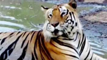 Video : Tigers move out of Corbett park boundary