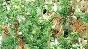 Video : Preserving  Kashmir's rare medicinal plants