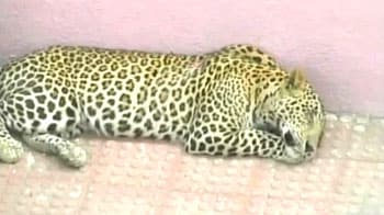 Video : More than four leopards killed every week in India