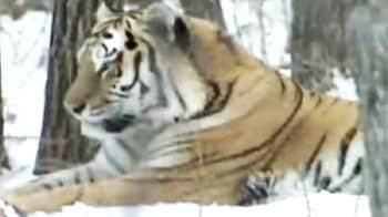 Video : Saving the Amur tiger