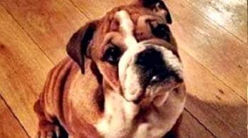 Hamiltons bulldog gets VIP paddock pass!