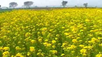 Video : Season of Yellow
