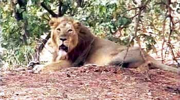 Video : Drought hits animals at the Gir sanctuary