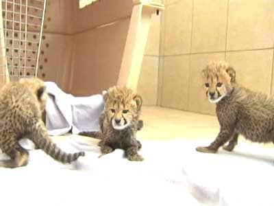 Video : Born Wild: Walking with cheetahs
