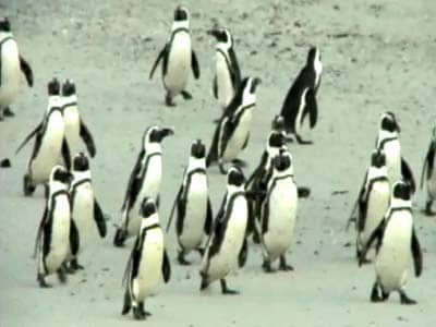 Video : Saving the penguins in southern Africa