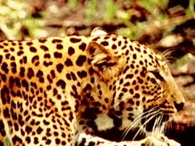 Video : Born Wild: Leopard a menace or a victim of mordernisation? (Aired: April 2005)