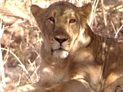Video : Born Wild: The Asiatic lion's only home in Gujarat's Gir sanctuary (Aired: October 2004)