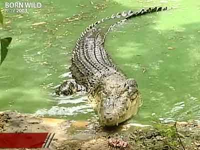 Video : Born Wild: Saving the crocodile (Aired: November 2003)