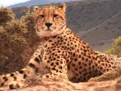 Video : Born Wild: The Cheetah (Aired: January 2008)