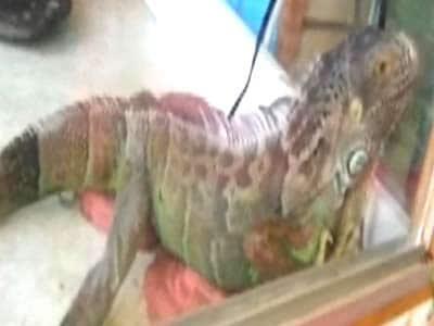 Video : Pet Diaries: Meet the Iguana in New Jersey