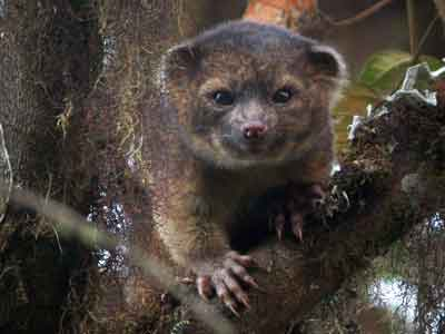 Video : Rare new mammal discovered, it's called olinguito