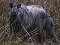 Video: Born Wild: How Kaziranga is preserving India's rhinos (Aired: November 2003)