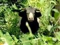 Video: Born Wild: Four-legged Arunachalis (Aired: January 2008)