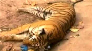 Video : Tigress killed by govt vehicle?